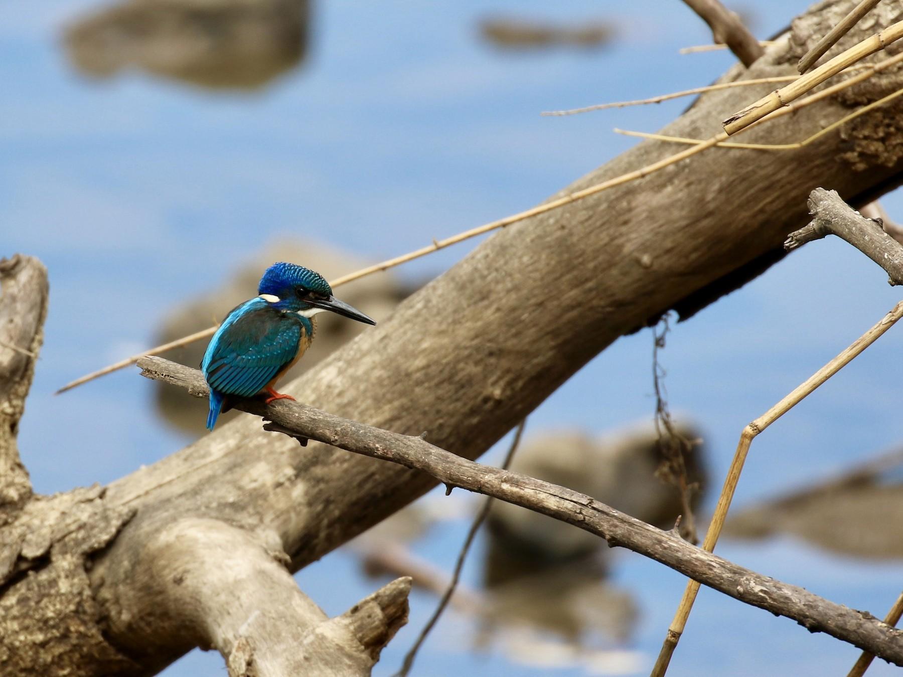 Half-collared Kingfisher - Shannon Fair