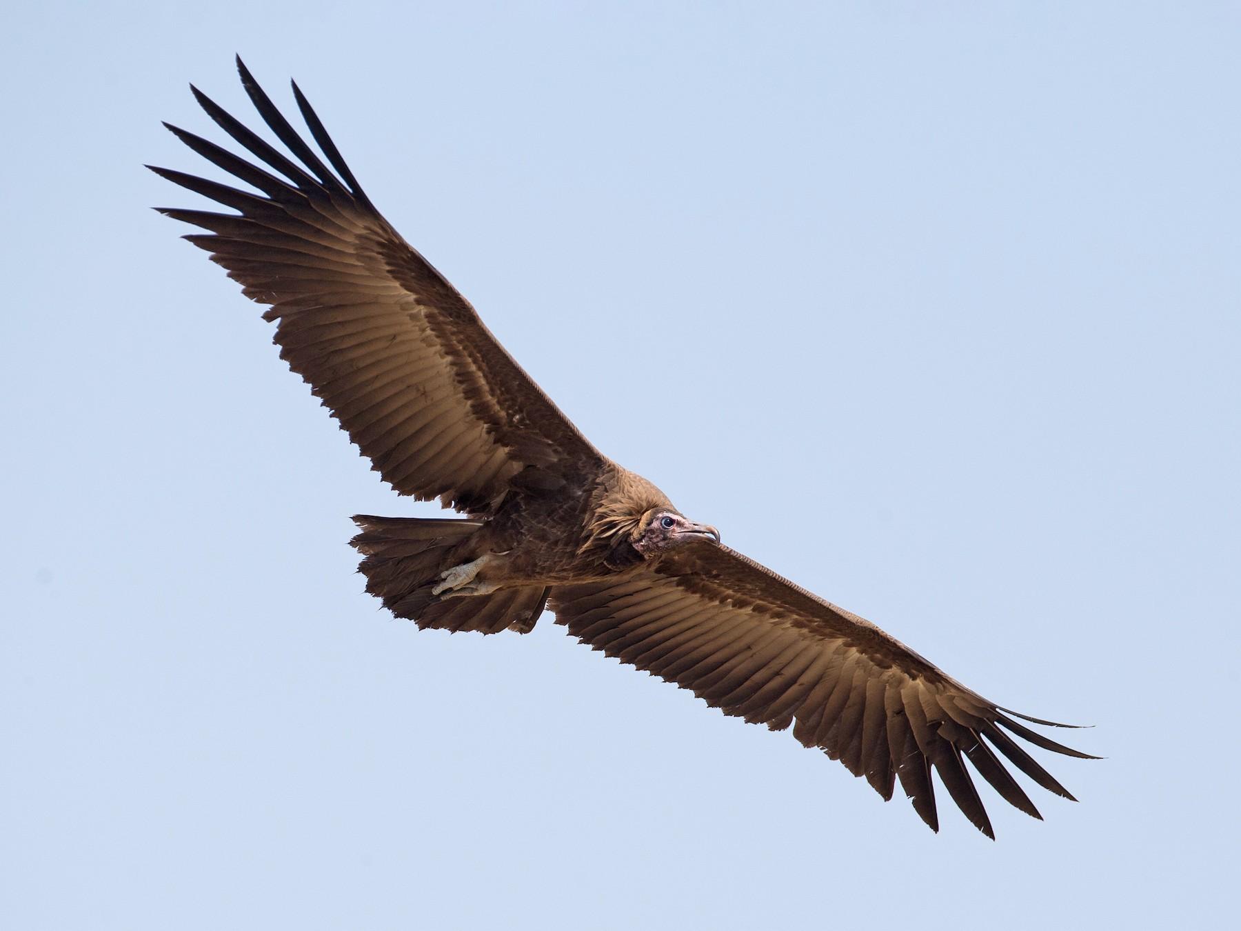 Hooded Vulture - Chris Wood