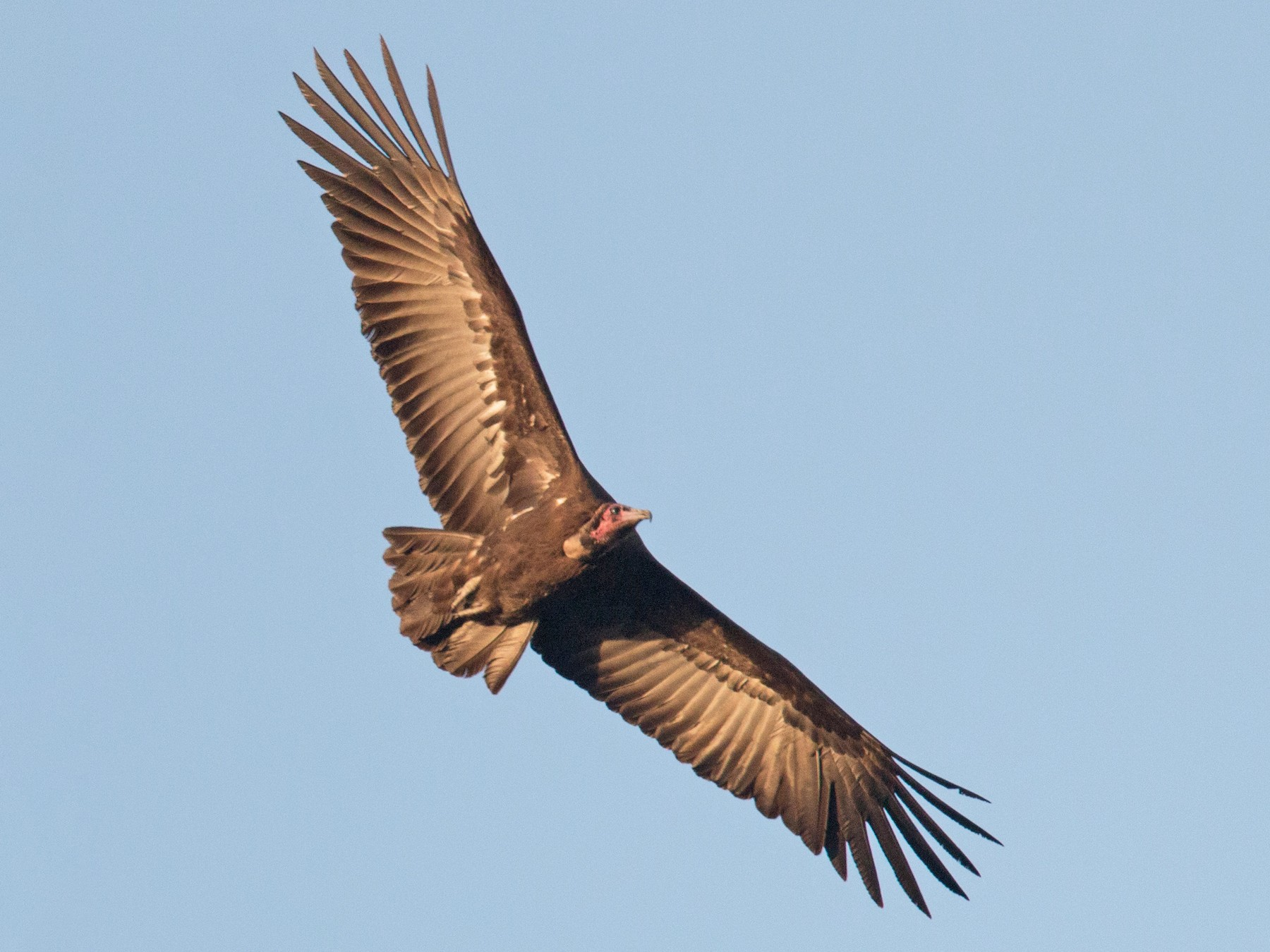 Hooded Vulture - Ian Davies