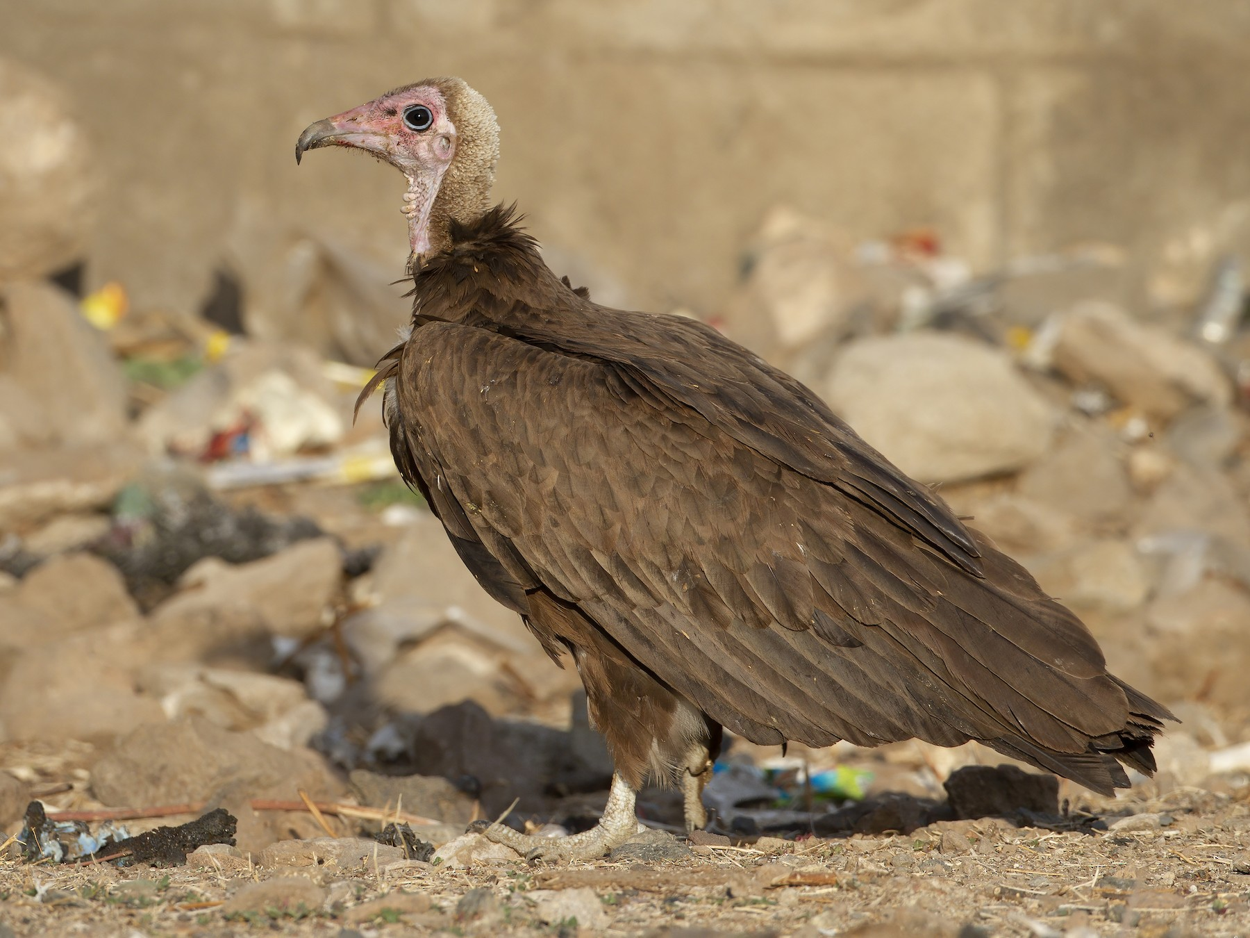 Hooded Vulture - Marco Valentini