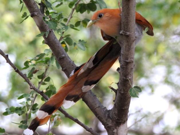 Squirrel Cuckoo - Paul Lewis
