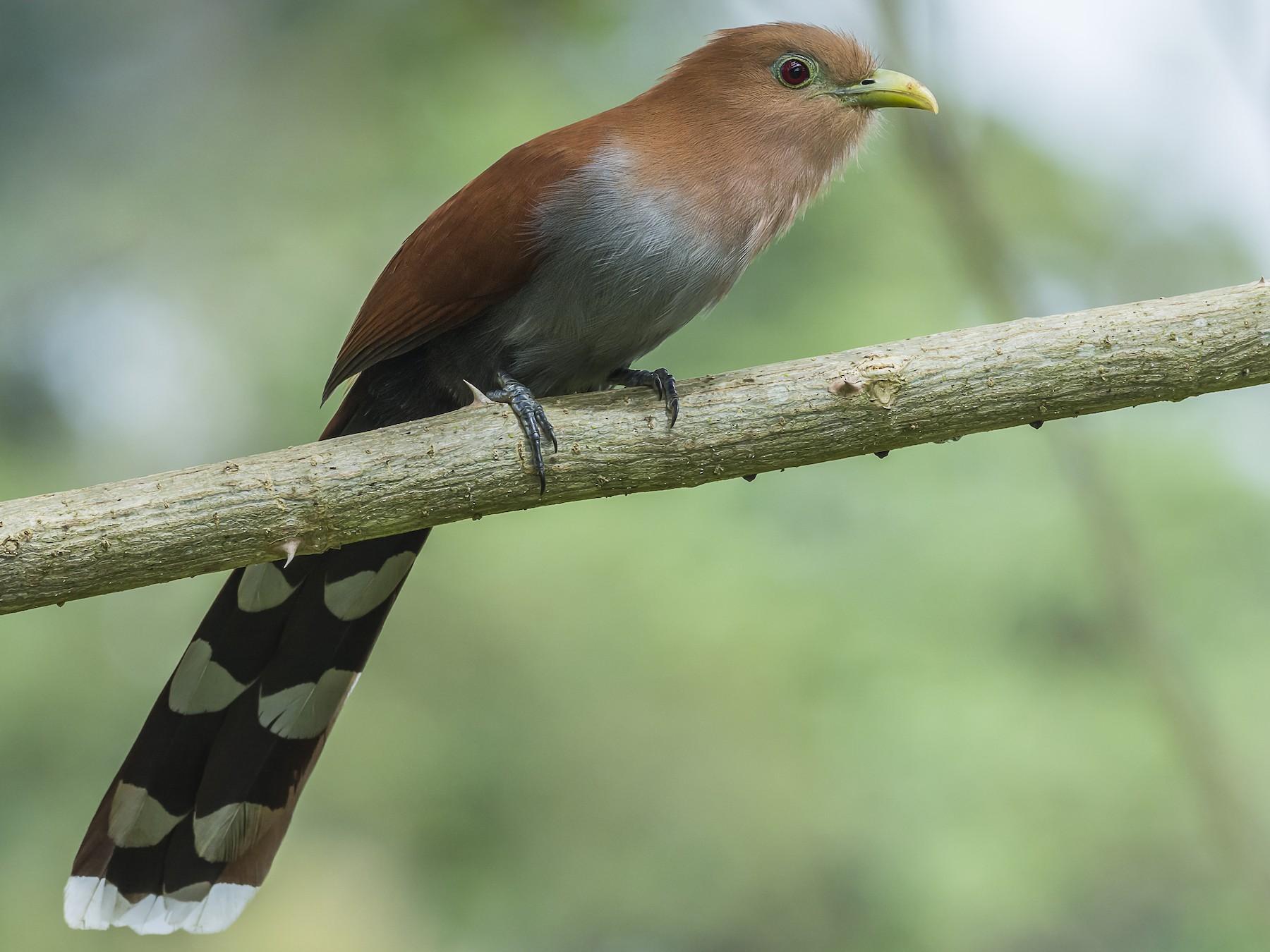 Squirrel Cuckoo - fernando Burgalin Sequeria