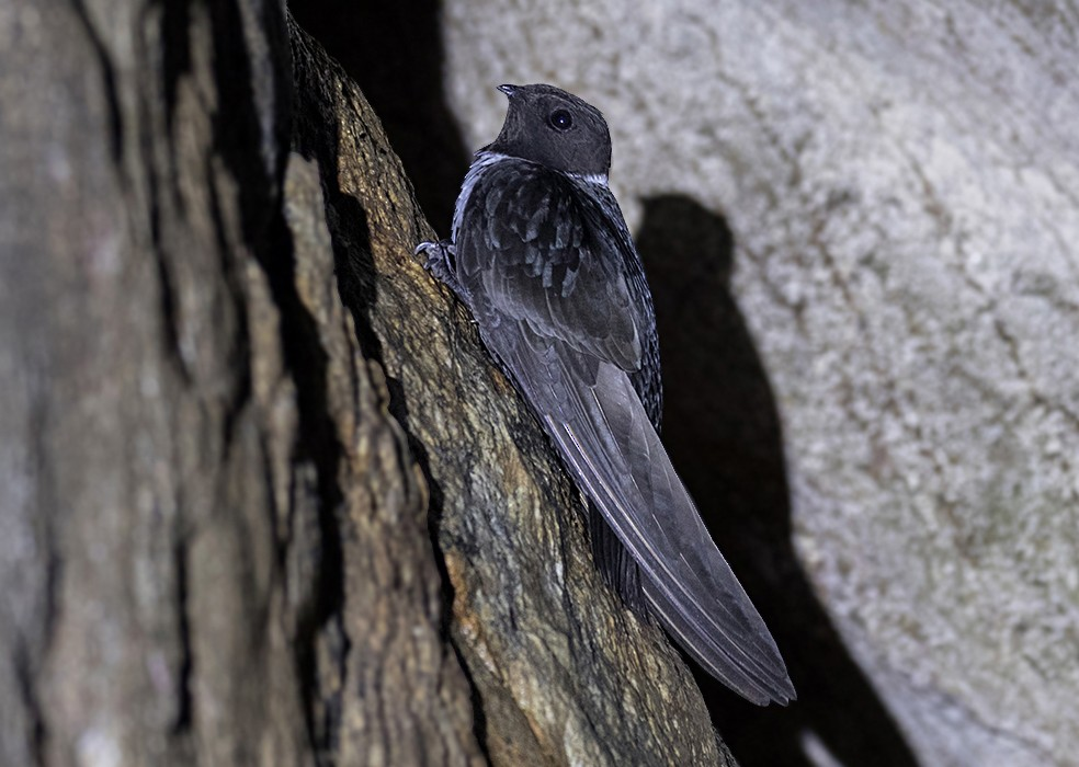 White-collared Swift - Alexandre Gualhanone