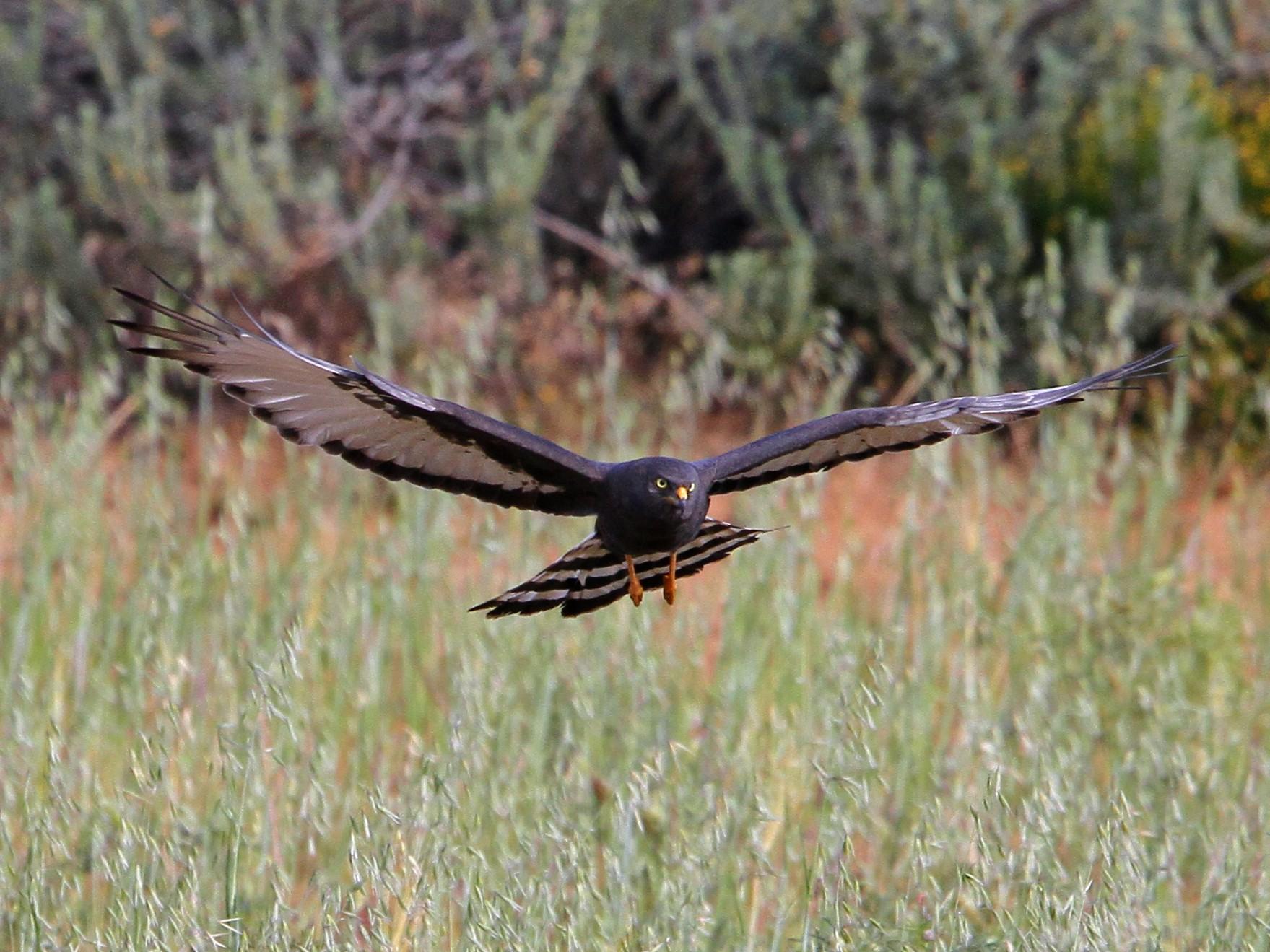 Black Harrier - Christoph Moning