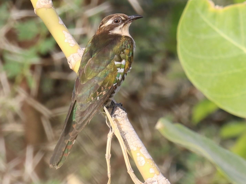 Klaas's Cuckoo - Fikret Ataşalan