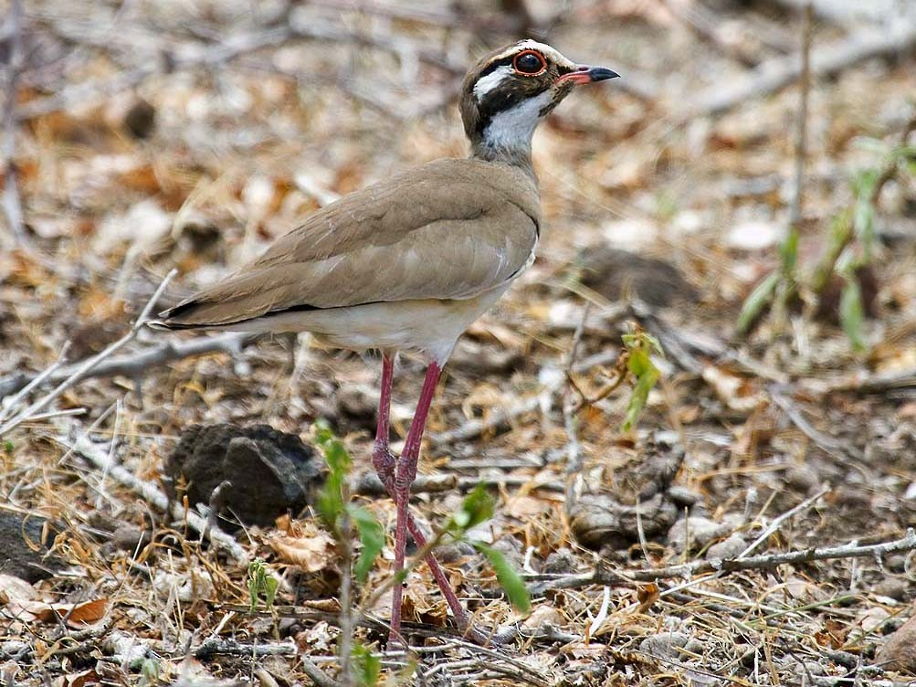 Bronze-winged Courser - Bruce Ward-Smith