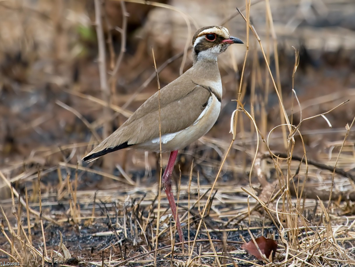 Bronze-winged Courser - Jon Lowes