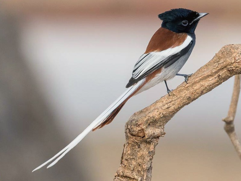 African Paradise-Flycatcher - James Kennerley 🦄