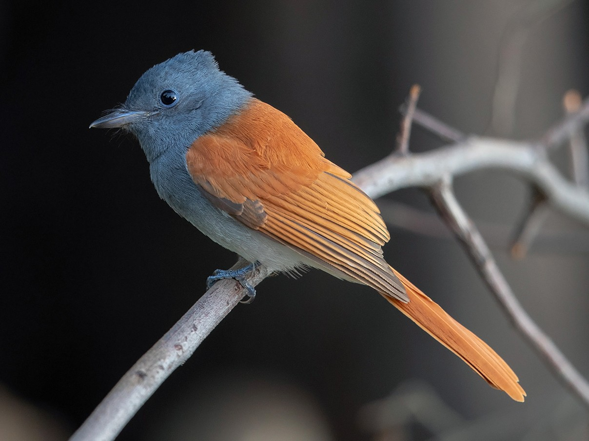African Paradise-Flycatcher - Niall D Perrins