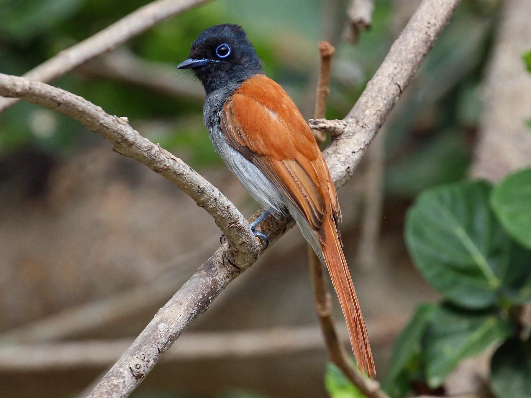 African Paradise-Flycatcher - Tommy Pedersen