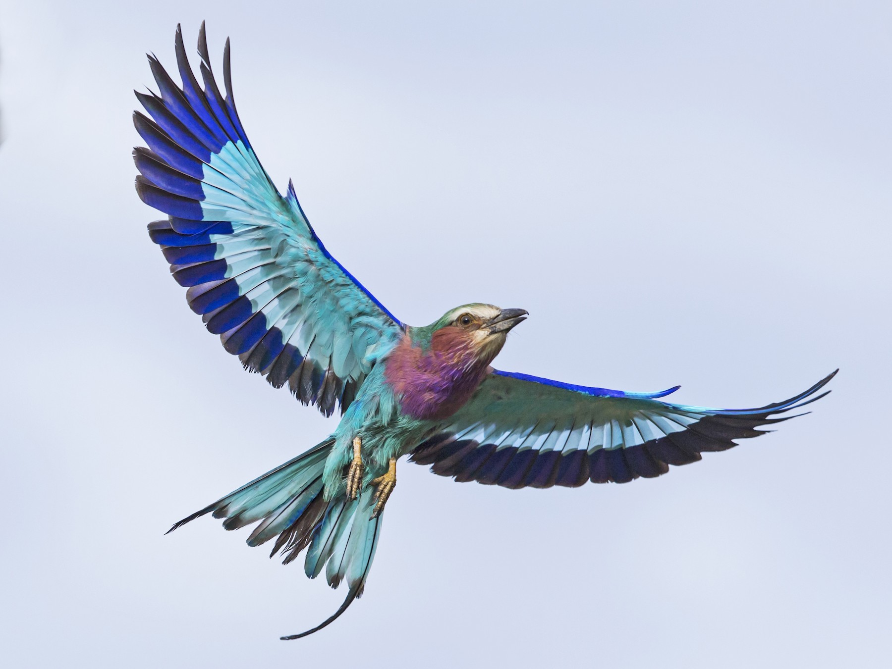 Lilac-breasted Roller - David Turko