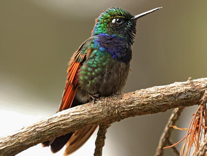 Garnet-throated Hummingbird - Rene Valdes