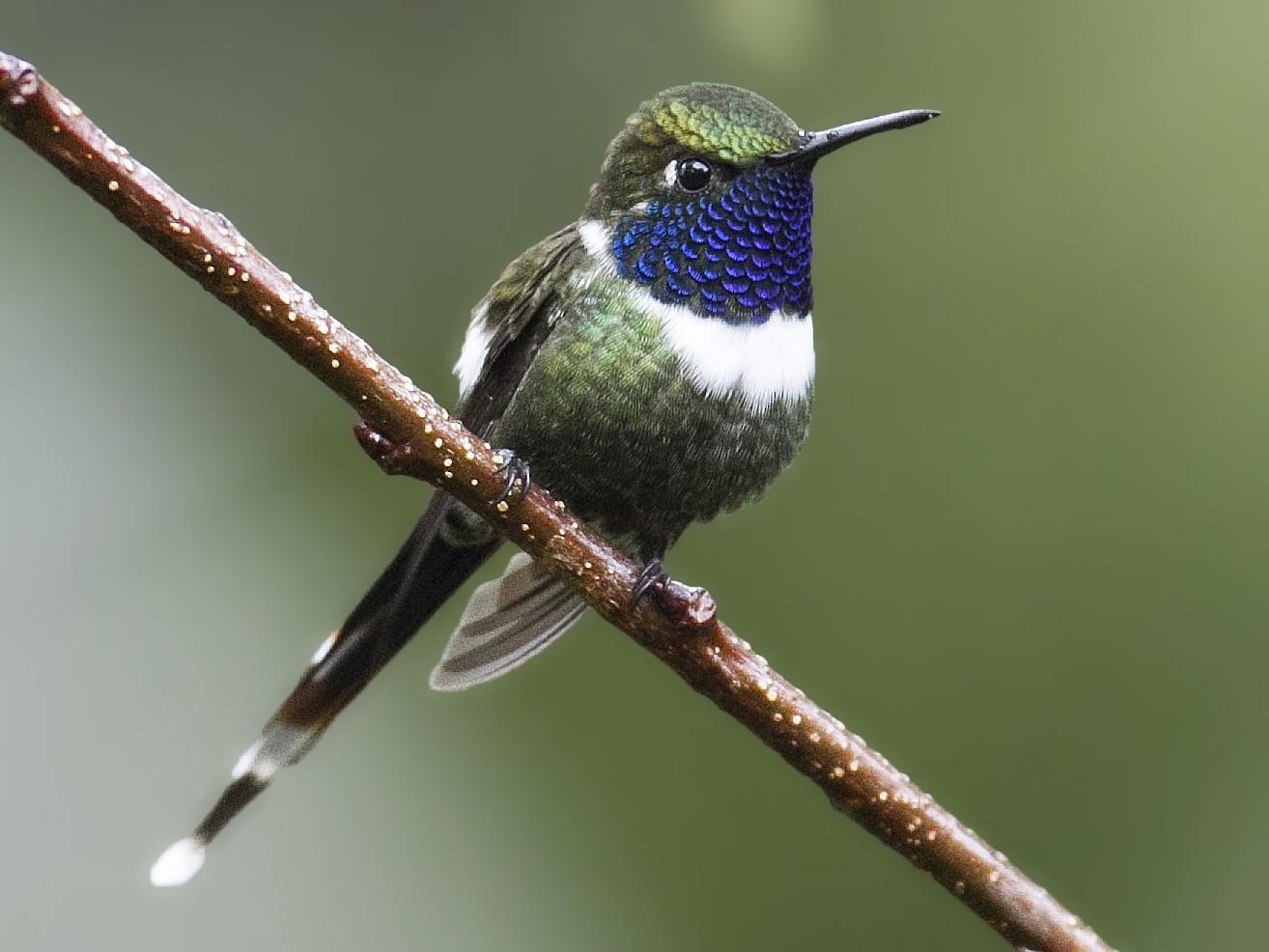 Sparkling-tailed Hummingbird - Juan Diego Vargas