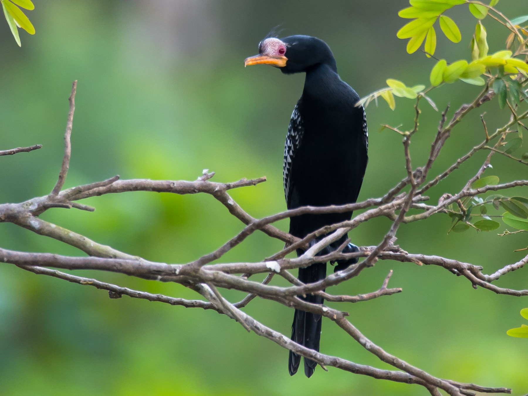 Long-tailed Cormorant - Eric francois Roualet