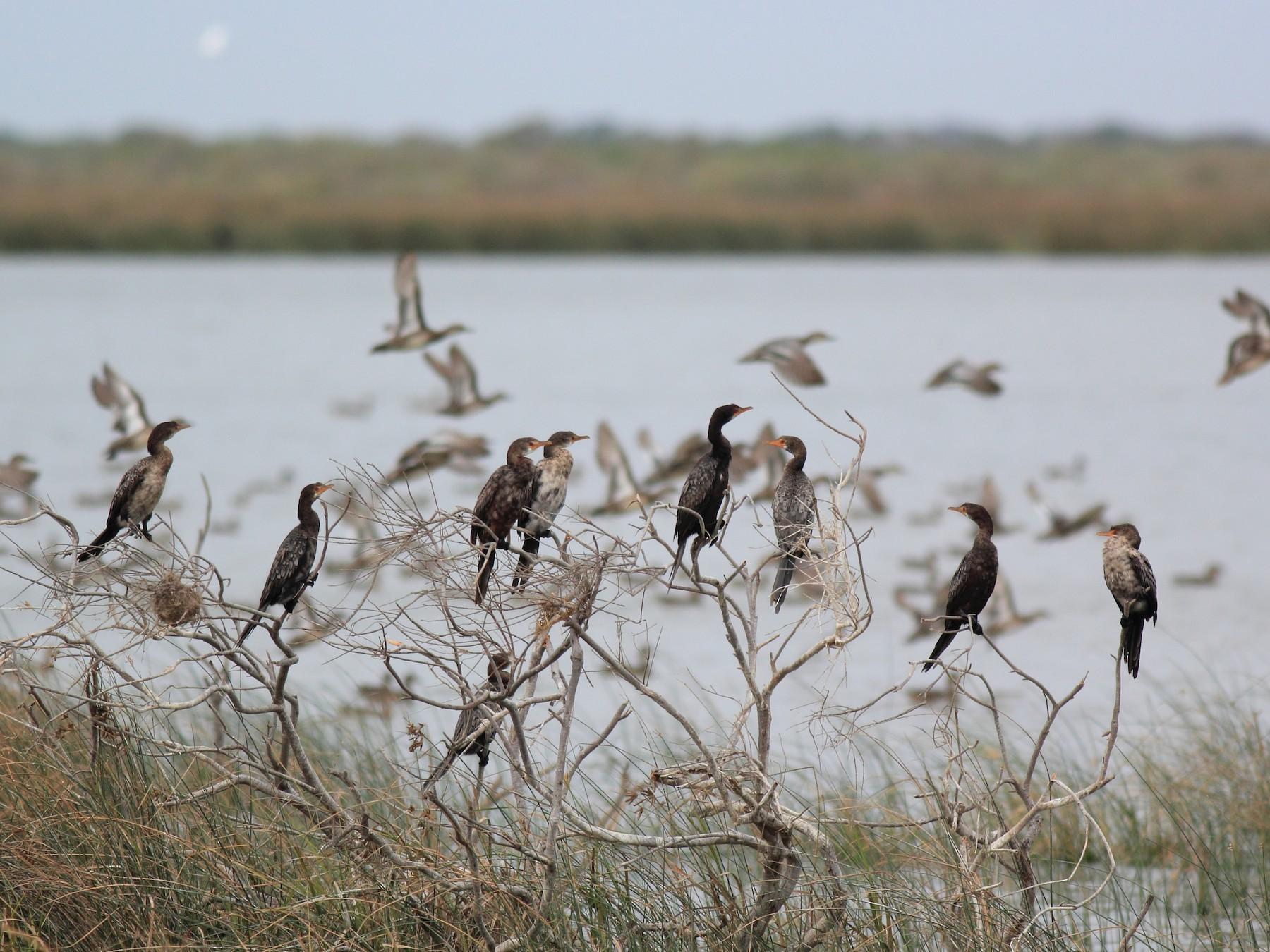 Long-tailed Cormorant - Brett Gleitsmann