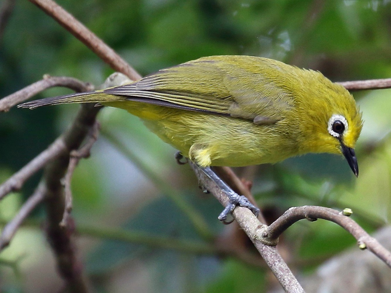 African Yellow White-eye - Sandy Vorpahl