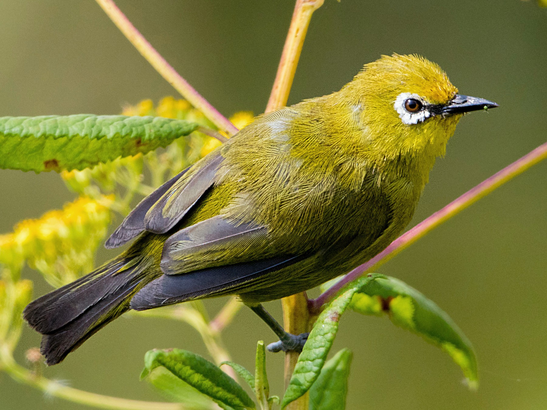 African Yellow White-eye - Bradley Hacker