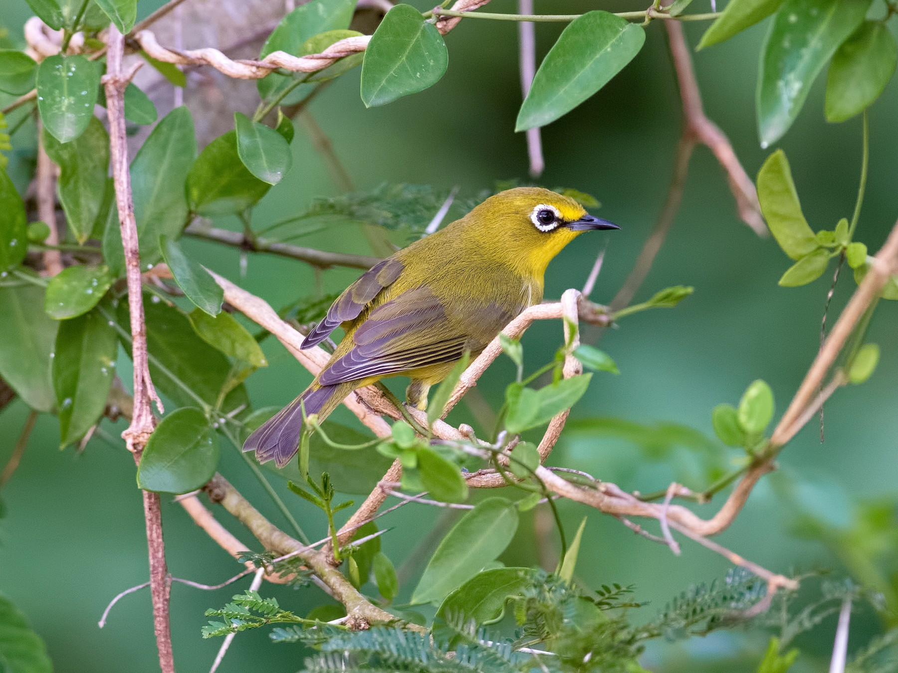 African Yellow White-eye - Shailesh Pinto