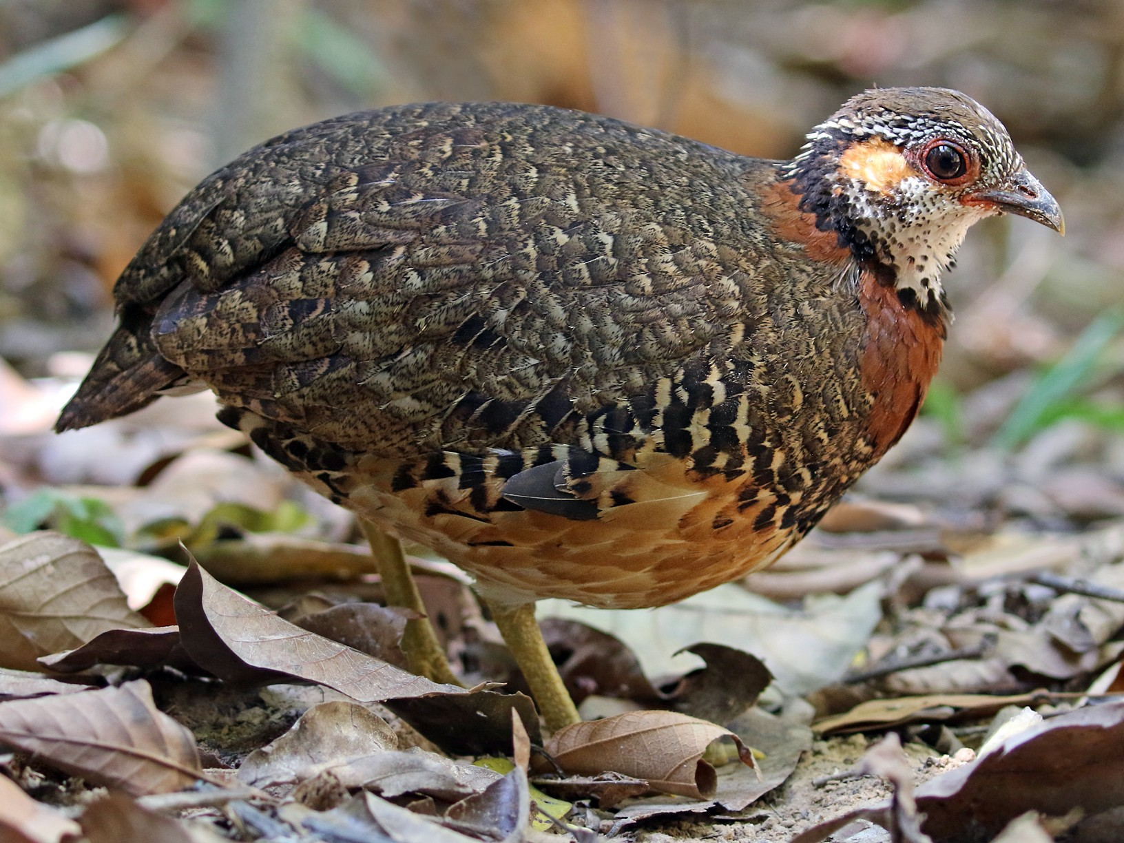 Chestnut-necklaced Partridge - Dave Bakewell