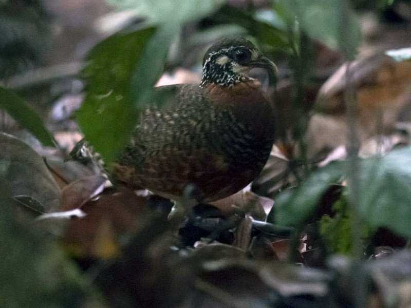 Chestnut-necklaced Partridge - Michael Todd