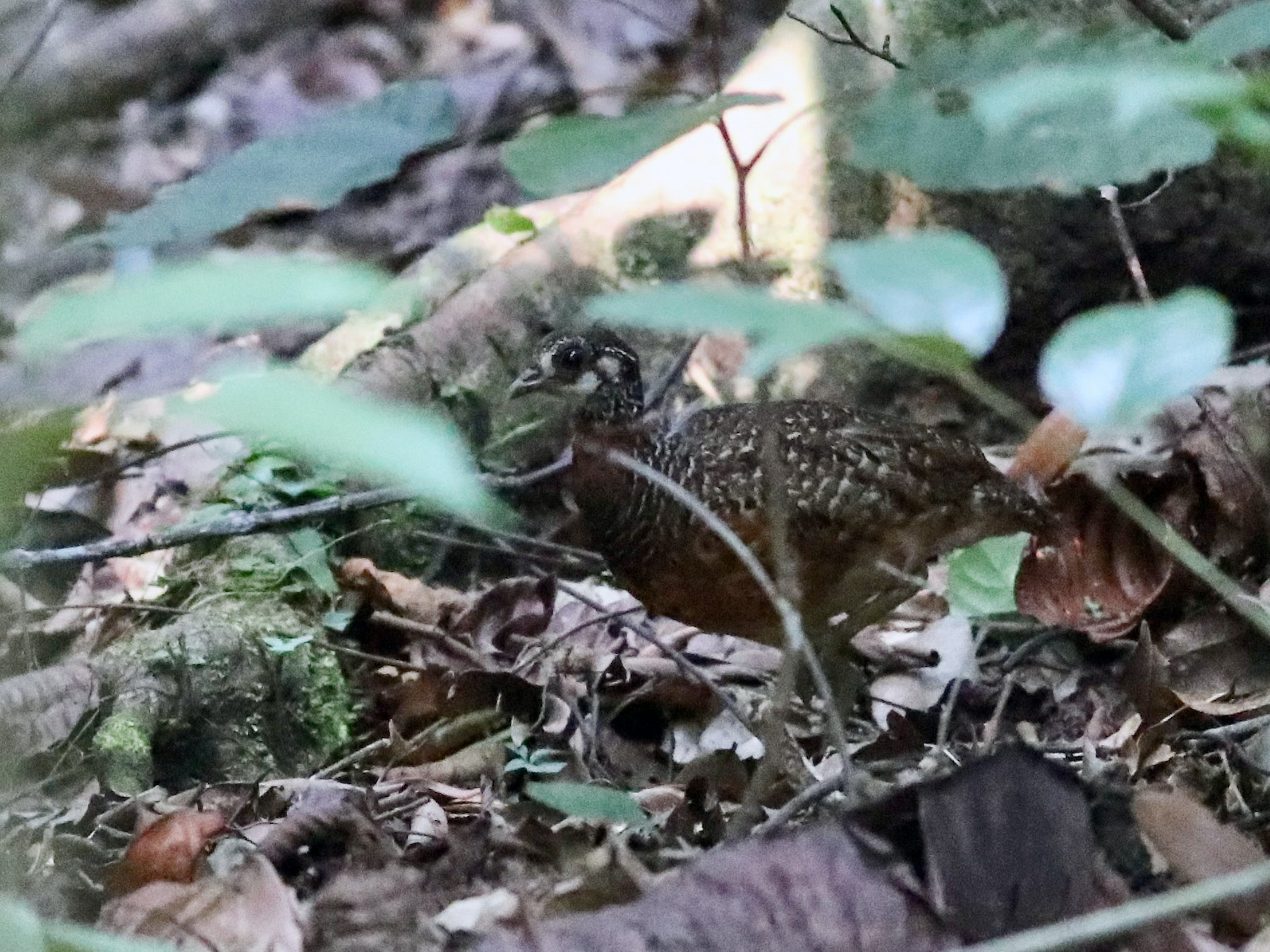 Chestnut-necklaced Partridge - Ting-Wei (廷維) HUNG (洪)