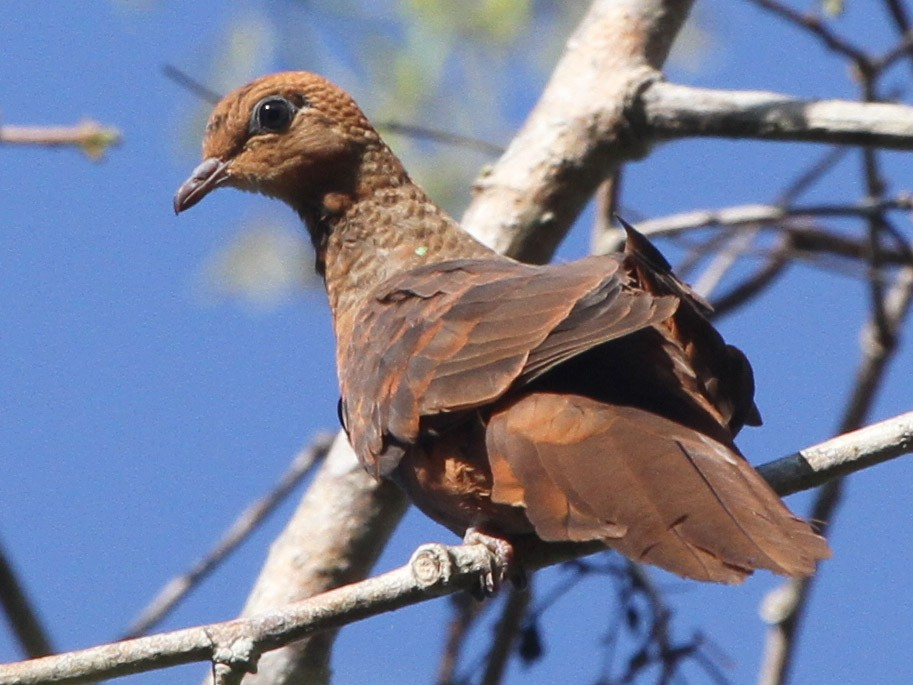Little Cuckoo-Dove - Colin Trainor