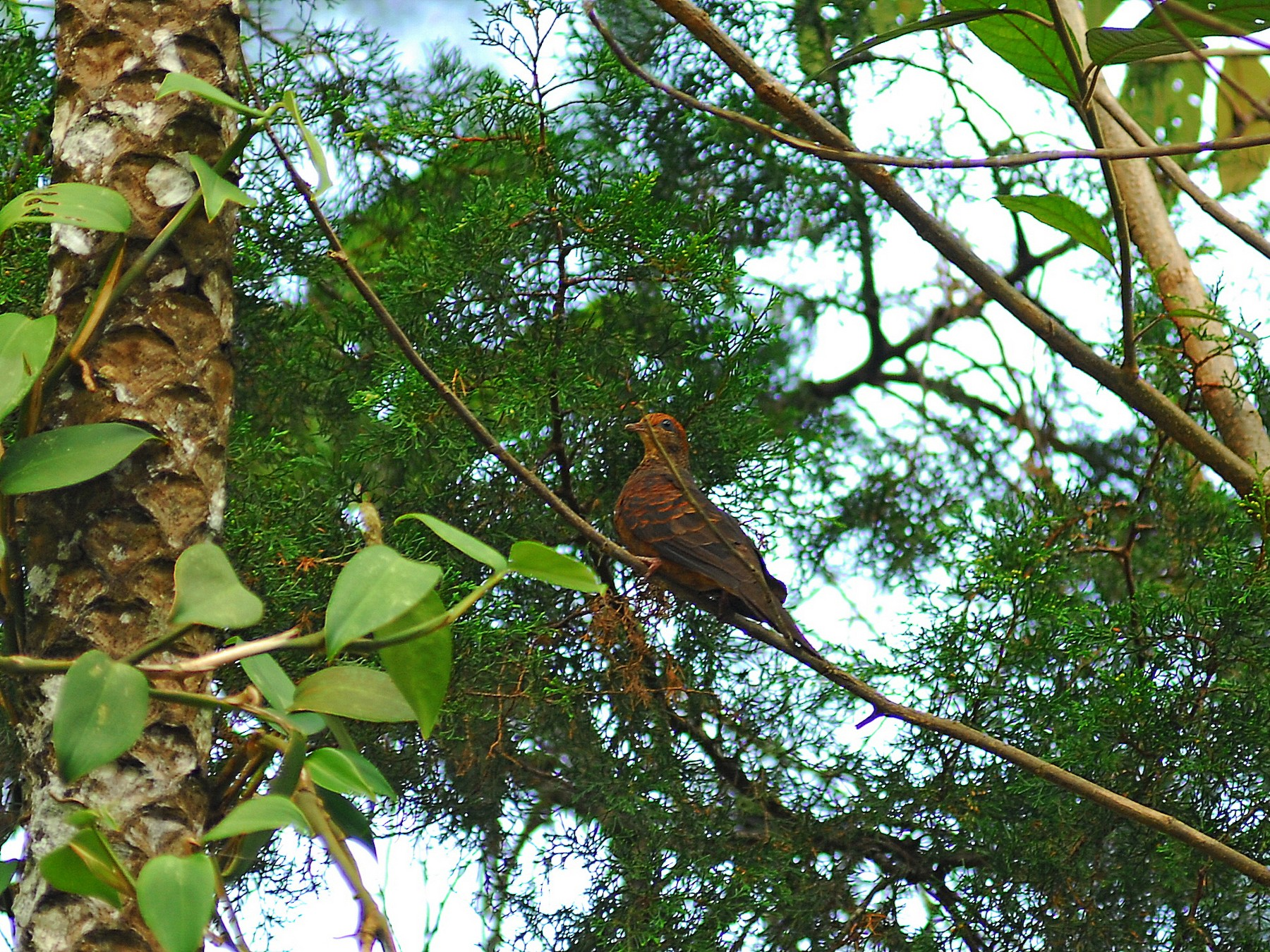 Little Cuckoo-Dove - Julien Birard