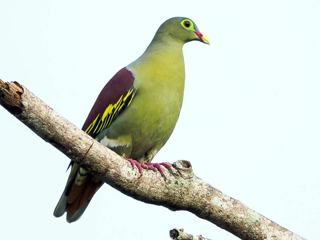Thick-billed Green-Pigeon - Karyne Wee