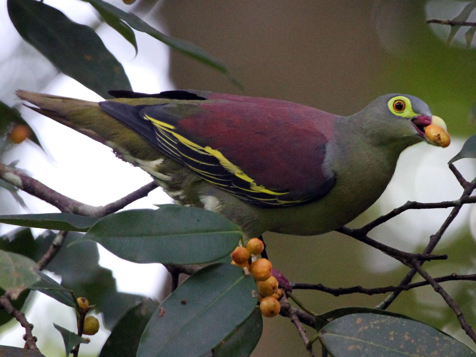 Thick-billed Green-Pigeon - Koji ICHIYAMA
