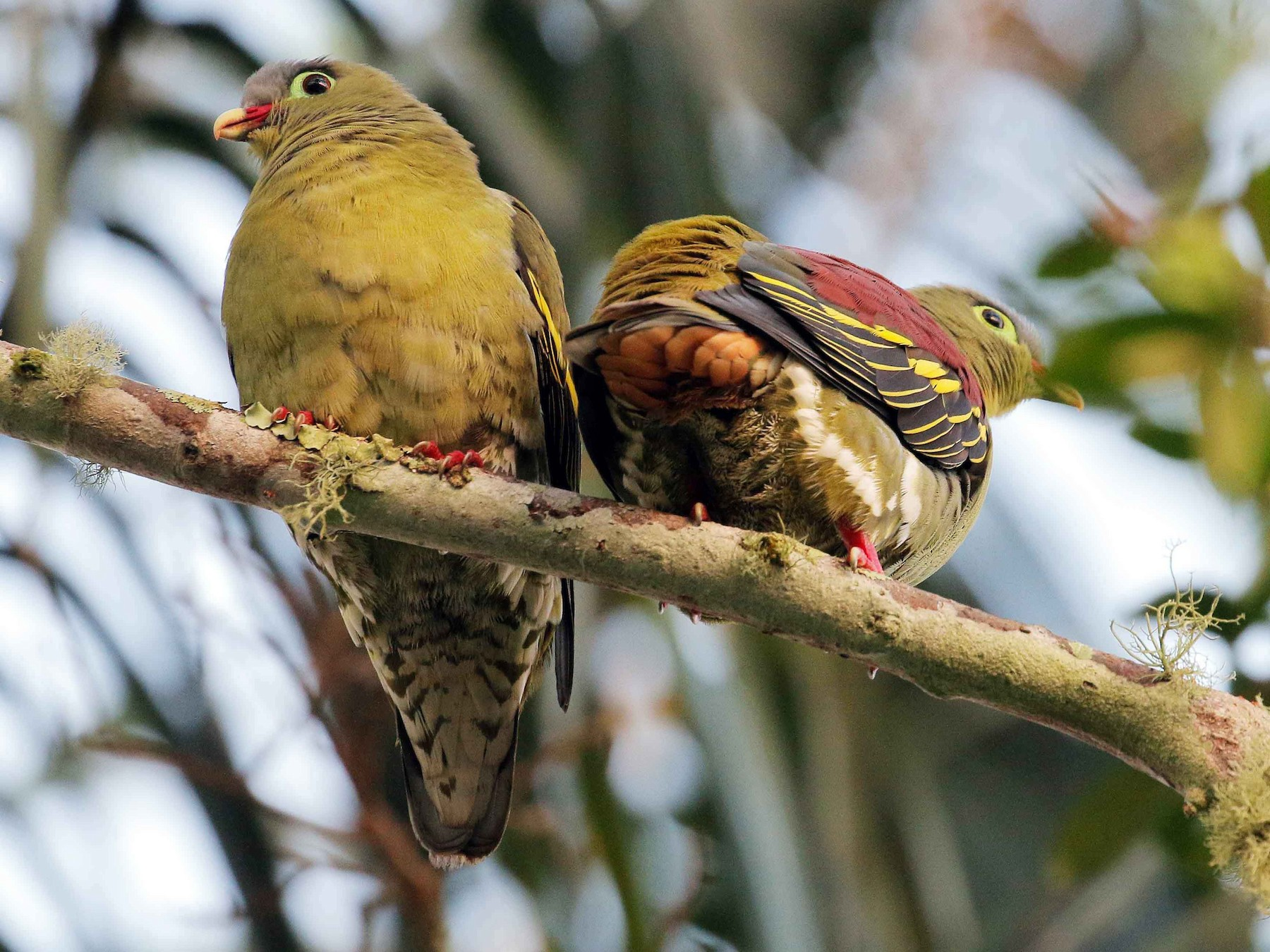Thick-billed Green-Pigeon - Neoh Hor Kee