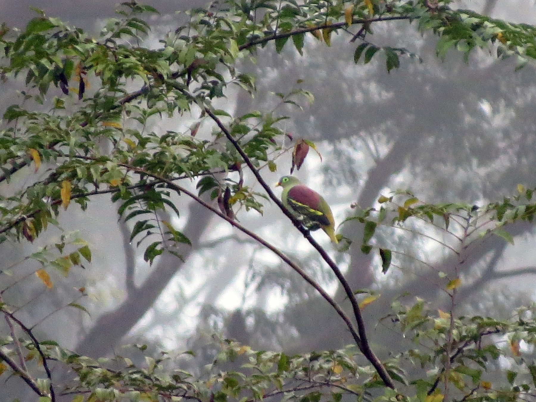 Thick-billed Green-Pigeon - Tom Wheatley
