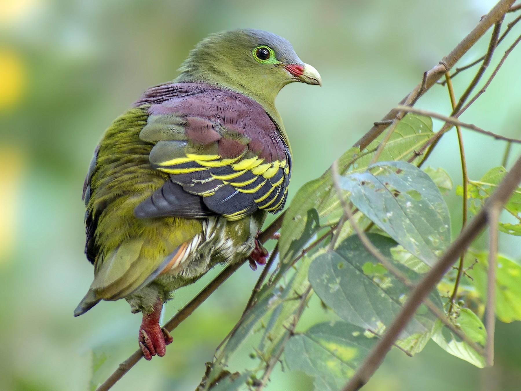 Thick-billed Green-Pigeon - Sheikh Ahmedul  Hoque Farhad