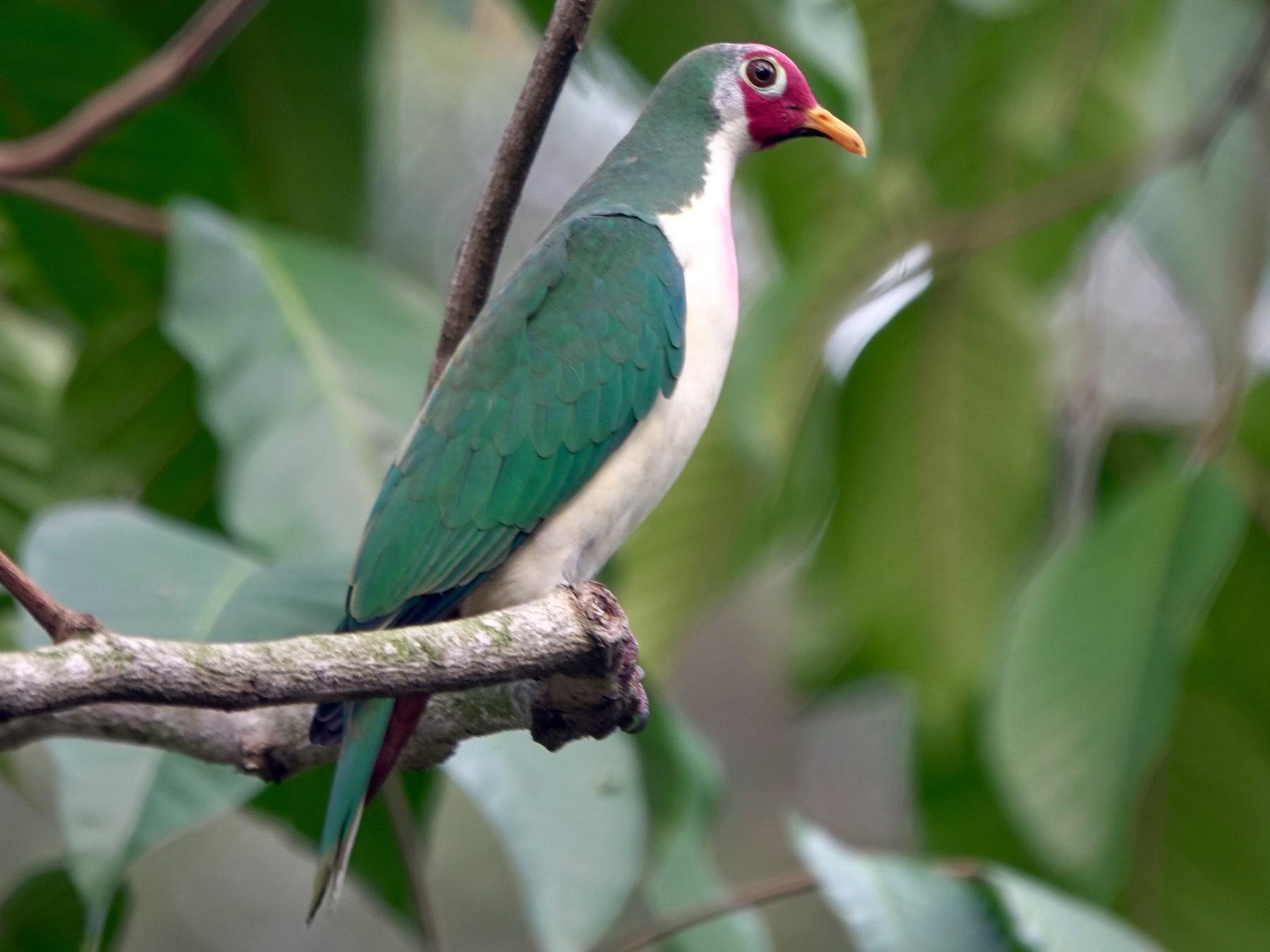 Jambu Fruit-Dove - Ramesh T