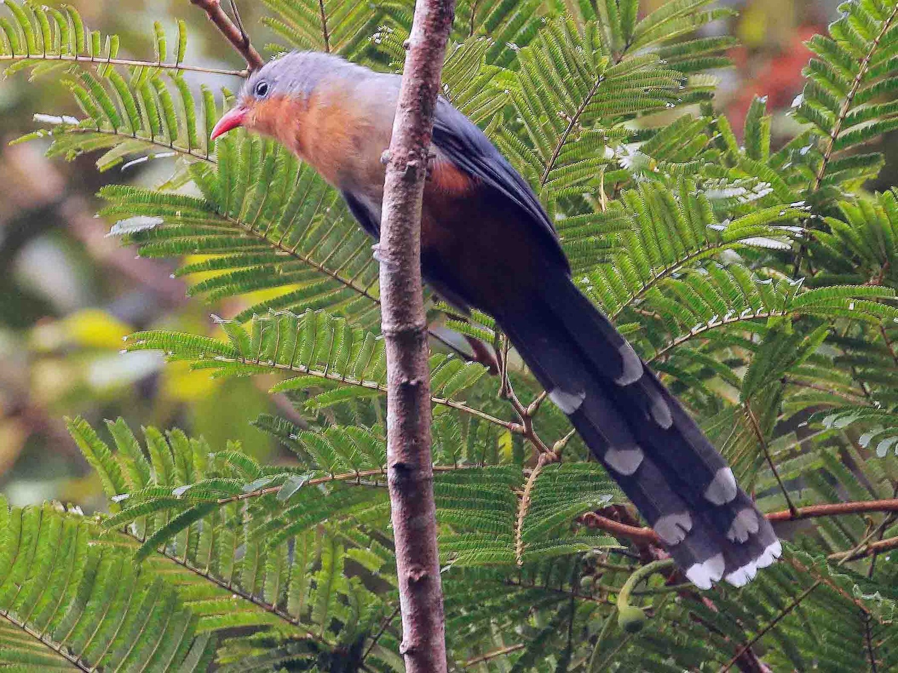Red-billed Malkoha - Neoh Hor Kee