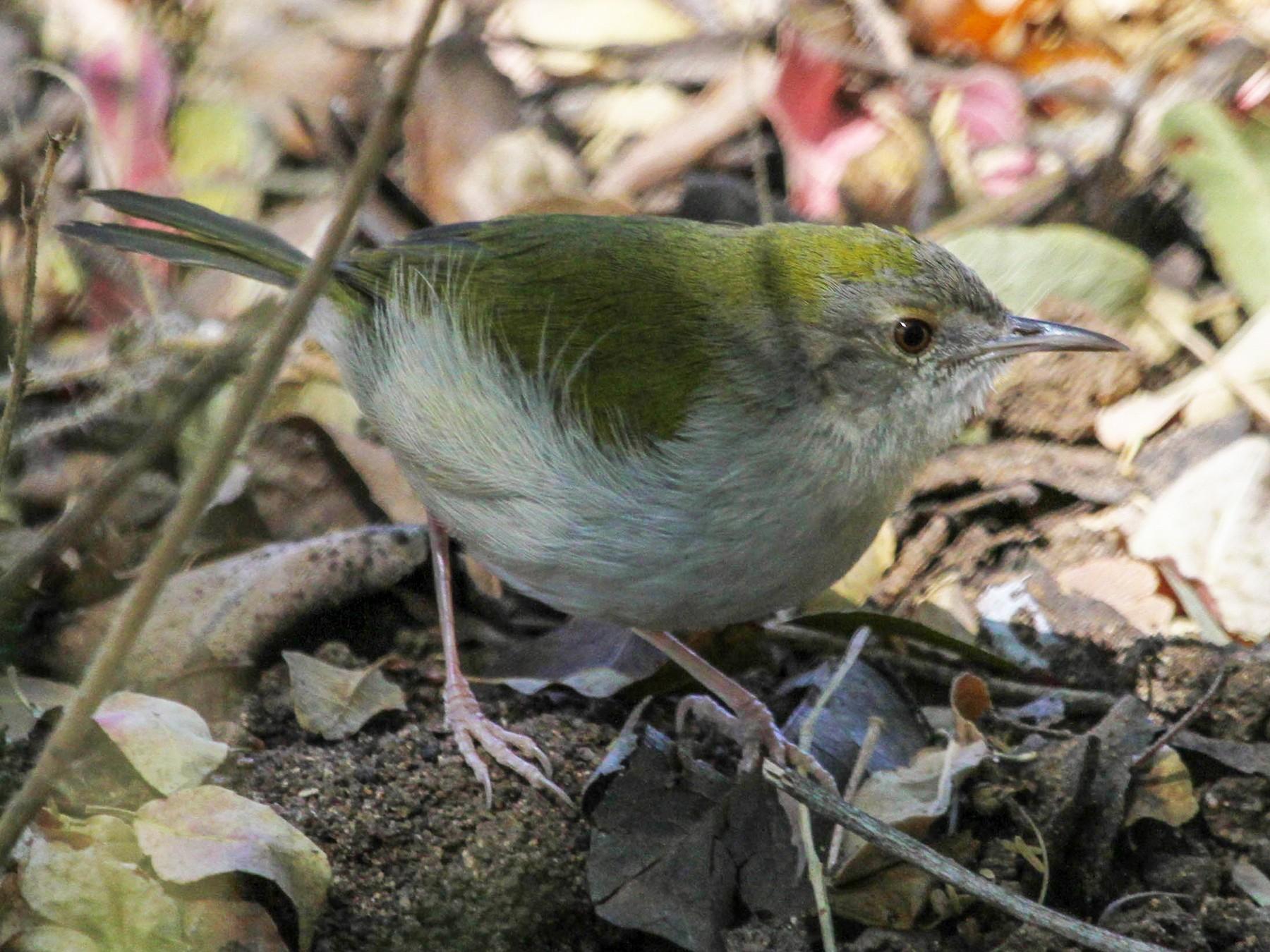 Green-backed Camaroptera - Anya Auerbach