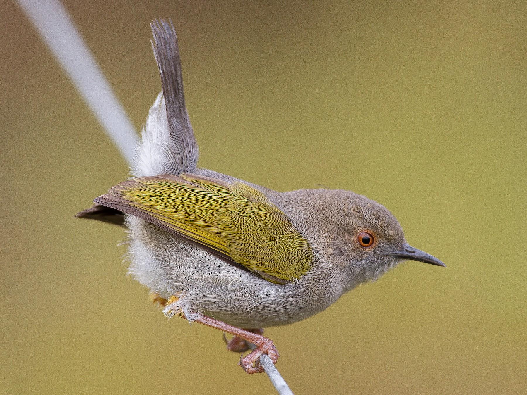 Green-backed Camaroptera - Chris Sayers