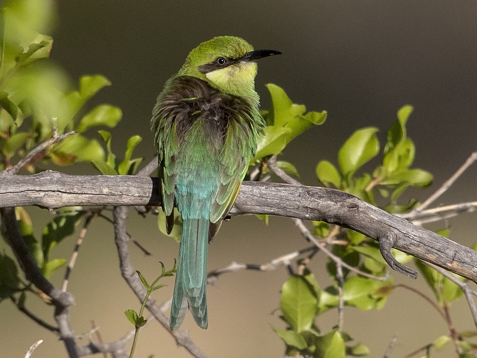 Swallow-tailed Bee-eater - Niall D Perrins