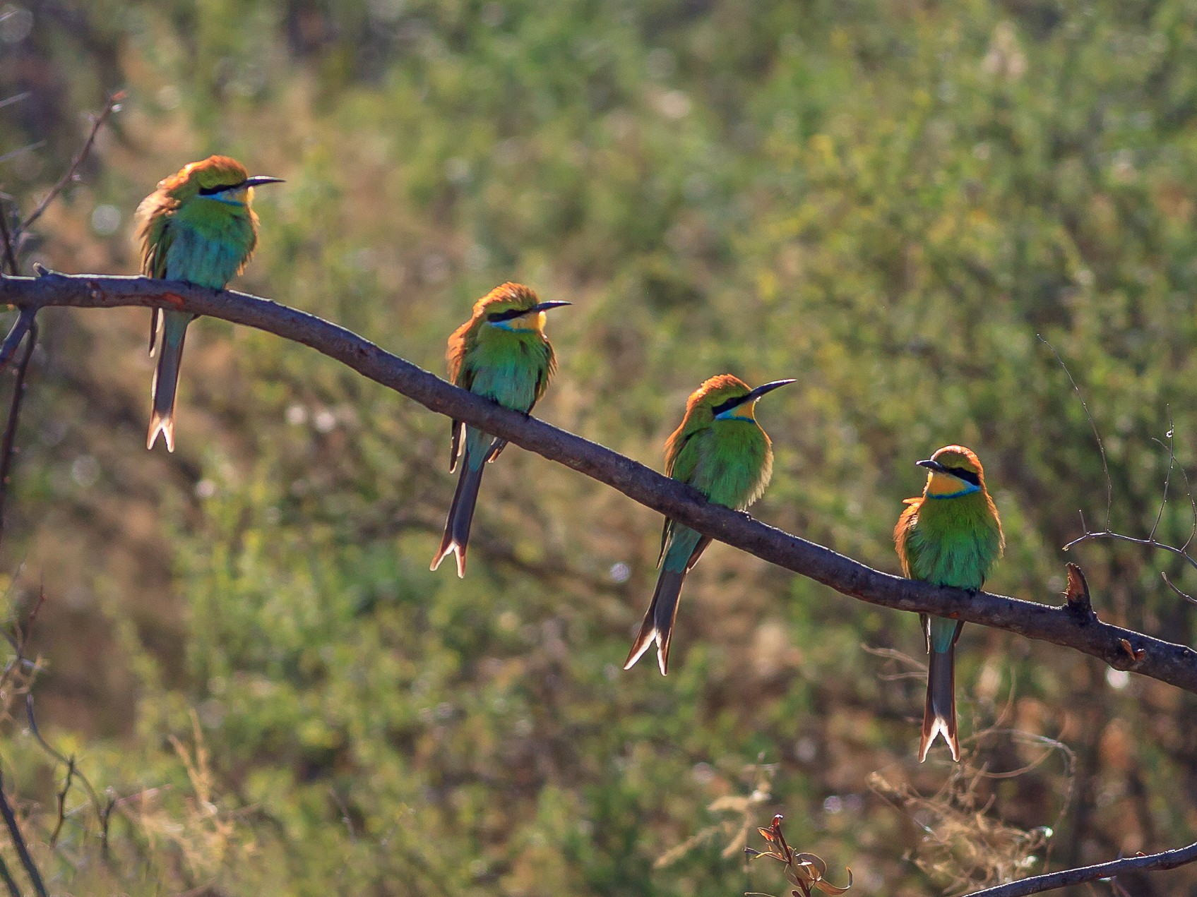 Swallow-tailed Bee-eater - aaron evans