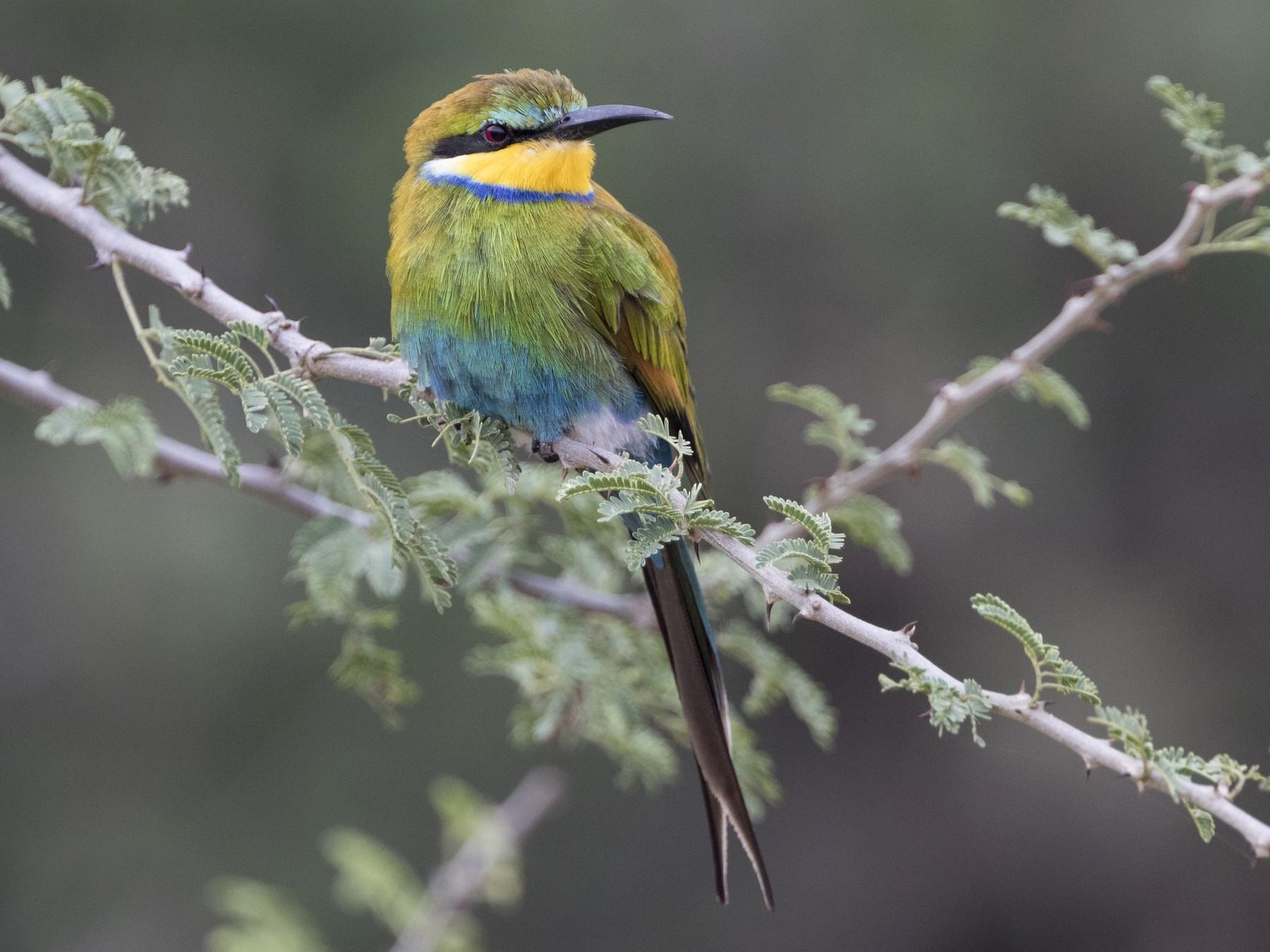 Swallow-tailed Bee-eater - Zak Pohlen