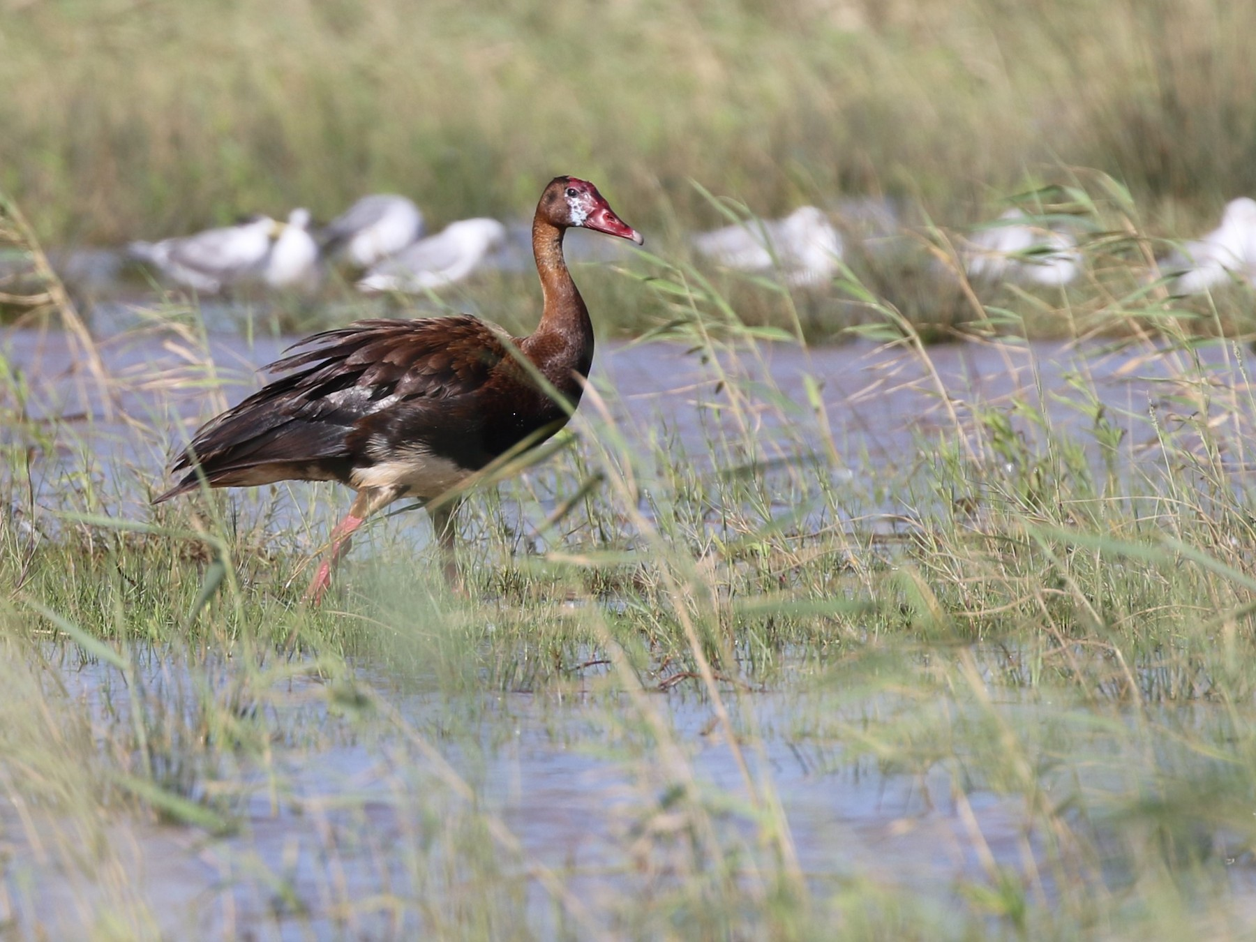 Spur-winged Goose - Dean LaTray