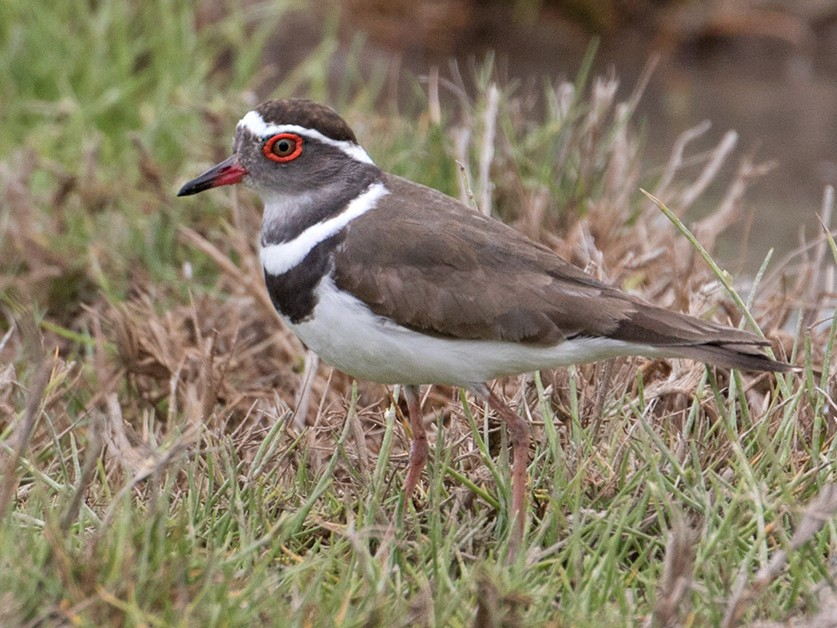 Three-banded Plover - Sam Woods