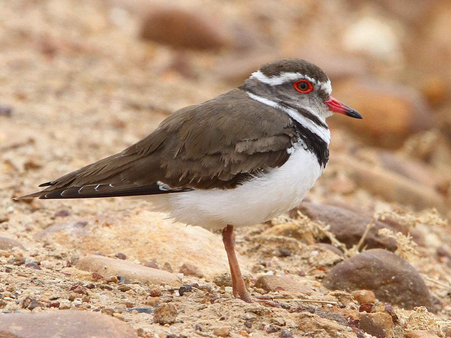 Three-banded Plover - Christoph Moning