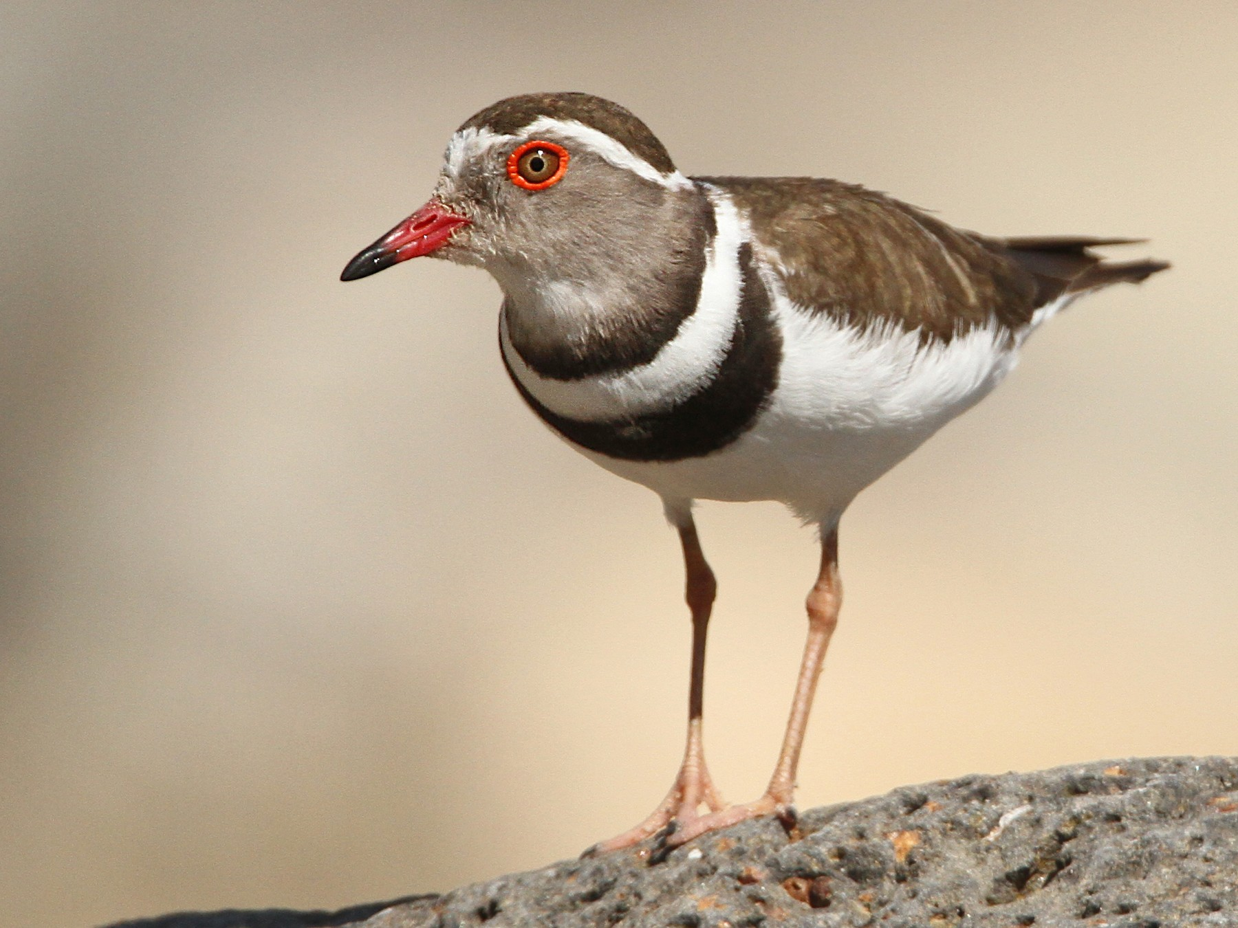 Three-banded Plover - Luke Seitz