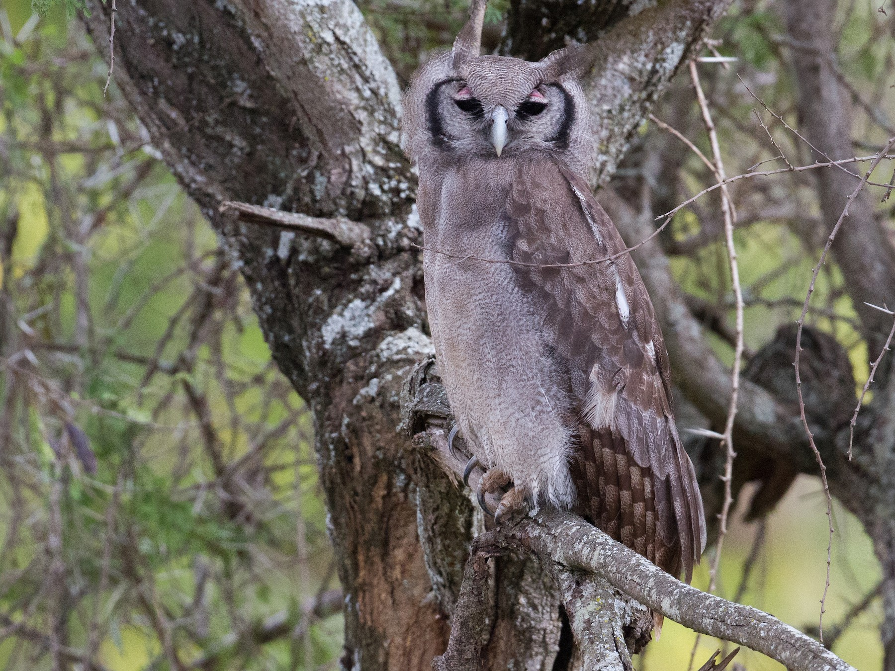 Verreaux's Eagle-Owl - Chris Sayers