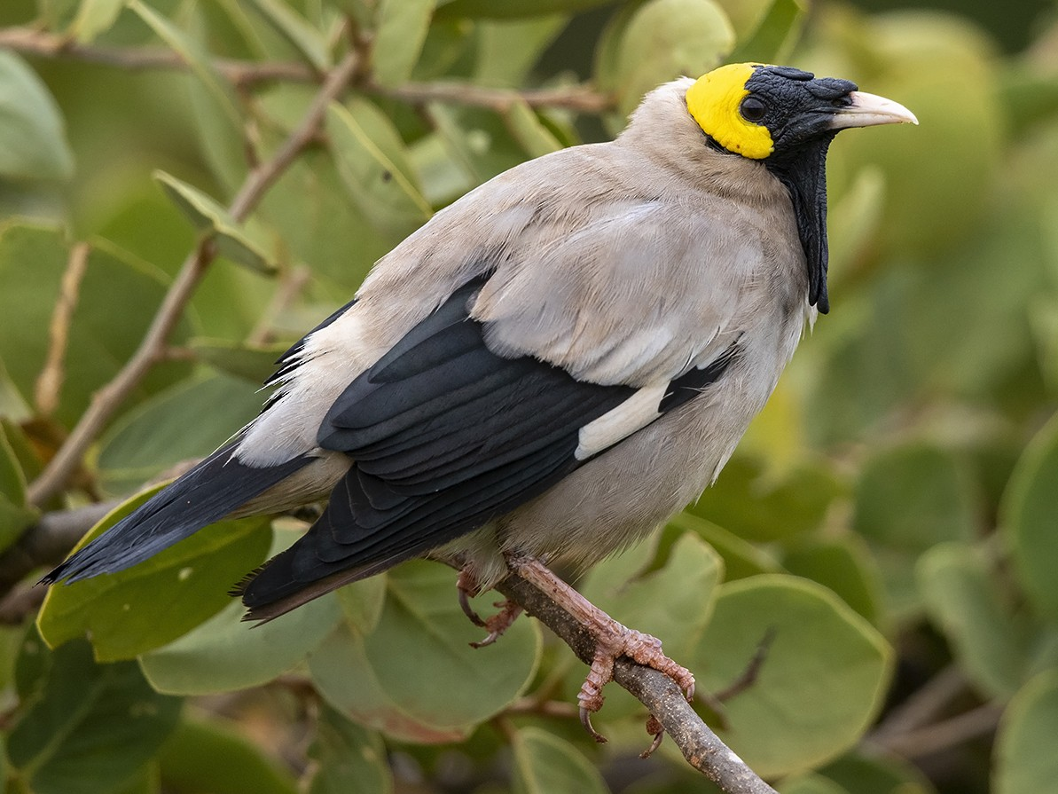 Wattled Starling - Niall D Perrins