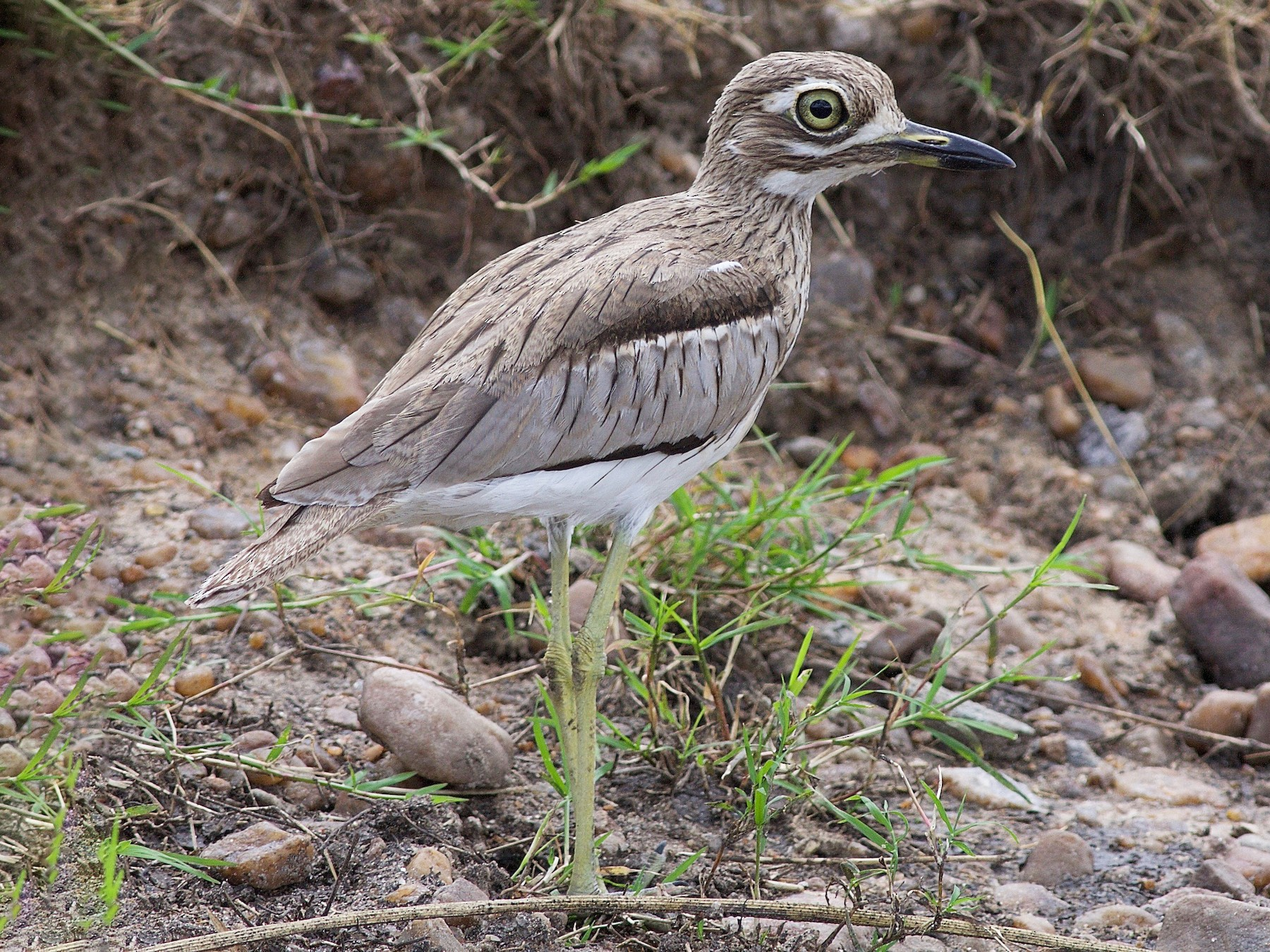 Water Thick-knee - Peter Lewis