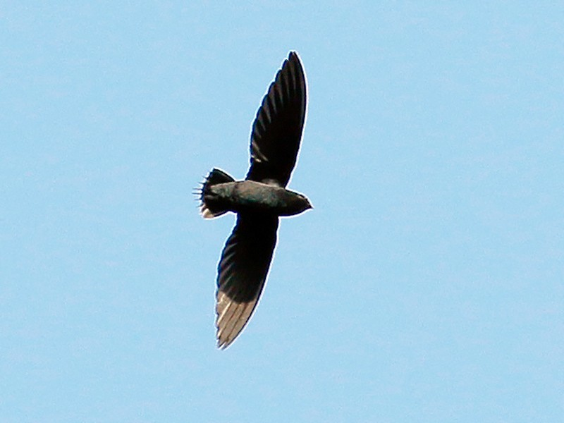 Silver-rumped Needletail - Neoh Hor Kee