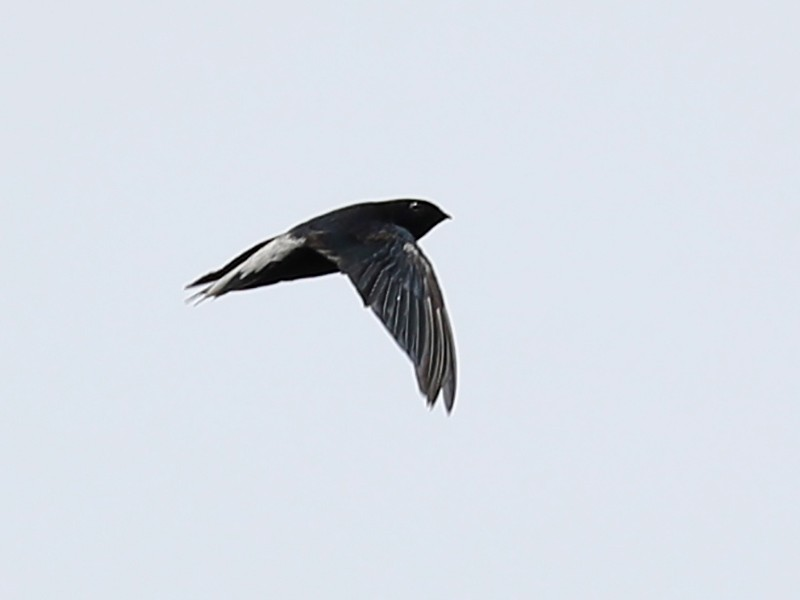 Silver-rumped Needletail - Ting-Wei (廷維) HUNG (洪)