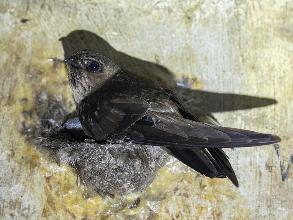 Black-nest Swiftlet - Francis Yap