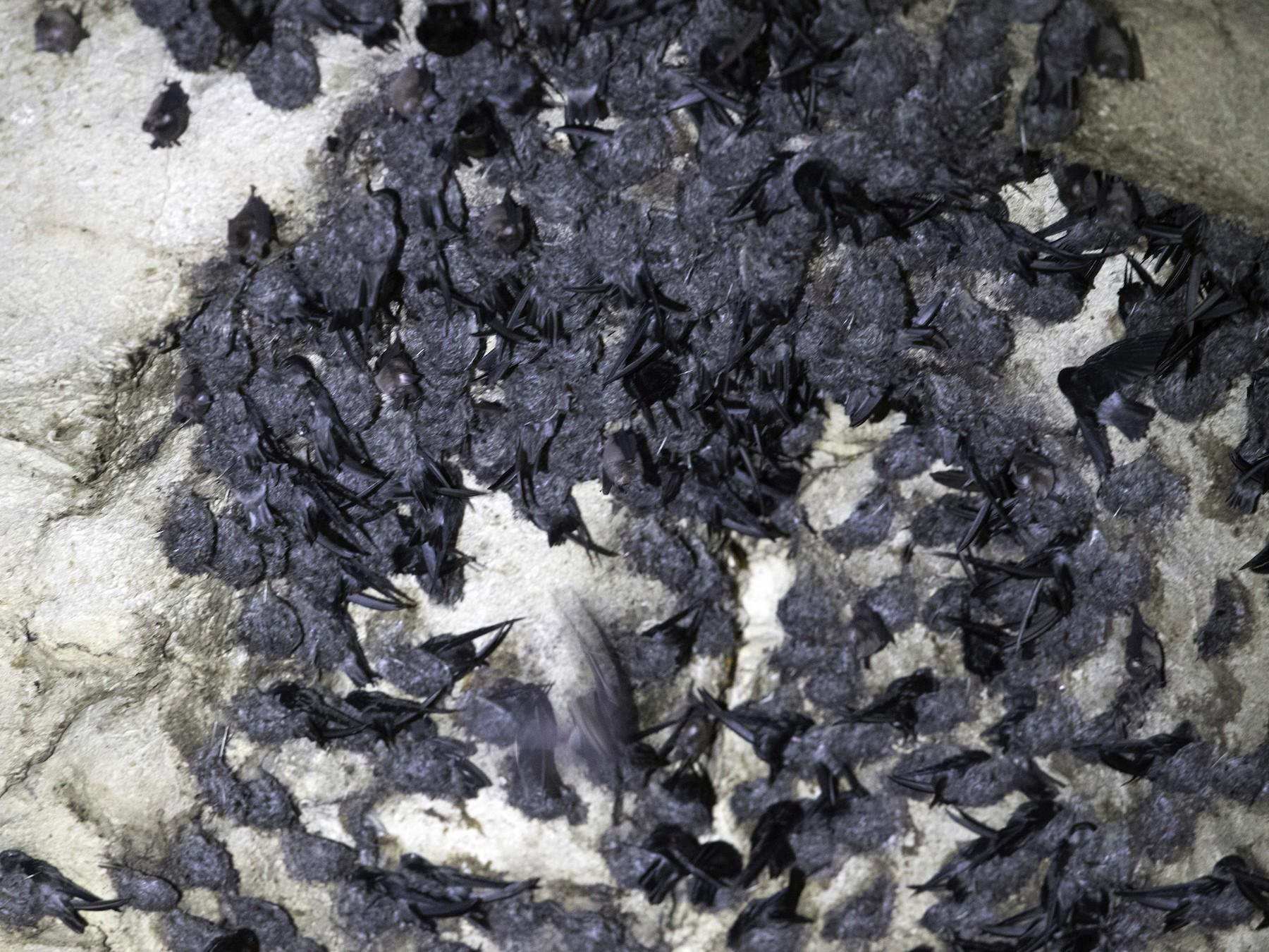Black-nest Swiftlet - Peter Seubert